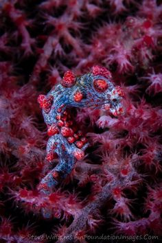 Lembeh Pygmy Seahorse