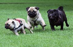 Pug race