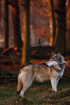 ♂ Wildlife photography mammals Wolf with warm light Wolf Spirit, Spirit Animal, Wolf Pictures, Animal Pictures, Beautiful Creatures, Animals Beautiful, Tier Wolf, Animals And Pets, Cute Animals