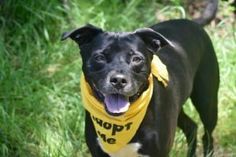 Urgent Staten Island -RAMBO – A1112957 **DOH HOLD RELEASED 06/03/17** NEUTERED MALE, BLACK / WHITE, LABRADOR RETR MIX, 7 yrs OWNER SUR – BLOCKWEB, HOLD FOR DOH-B Reason BITEPEOPLE Intake condition EXAM REQ Intake Date 05/23/2017, From NY 10306, DueOut Date 05/26/2017, Medical Behavior Evaluation GREEN