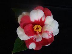 """Camellia japonica """"Memphis Belle"""""""