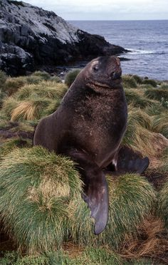Male Hooker's sealion (Phocarctos hookeri) on Snares Island, New Zealand