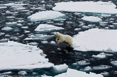 Ice-land hopping: The bears have to jump from one berg to another in search of food until the sea ice returns for winter