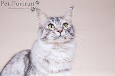 Kattenfotograaf Noordwijk - Drie Maine Coon Katten-1