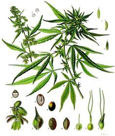 Cannabis sativa - Köhler–s Medizinal-Pflanzen-026.jpg
