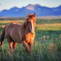 Oh beautiful Alberta, you have found a very special place in my heart. It doesn't matter where I go... This place will always feel like home . . ©️️️ Tanja Schneider Photography #equine #horse #quarterhorse #americanquarterhorse #aqha @officialaqha #aqhaproud #youholdmyheart #canada #alberta @travelalberta #southernalberta #yyc #yycphotographer #calgary #rockymountains #horsephotography #equinephotography #countrylife #cowhorse #cowboylife #western #equestri