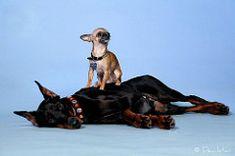 Devvu & Rince (Devilstar) Tags: dog chihuahua cute studio big funny top small maja doberman pinscher biene beke dobermann koer koerad rerih hainide tekiche