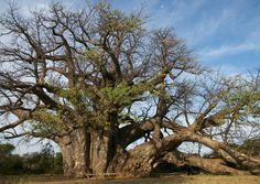 The biggest Baobab dated 1,500 years old, Venda country (South Africa)