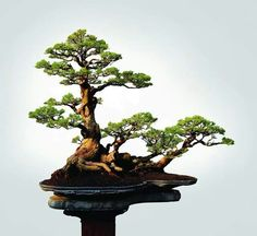 Ficus Bonsai, Bonsai Plants, Bonsai Garden, Bonsai Trees, Ikebana, Bonsai Forest, Tree Forest, Herb Garden Kit, Japanese Tree