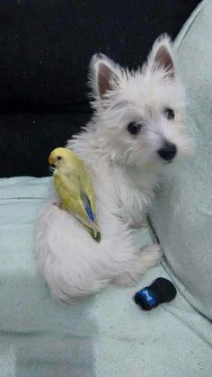 Westie and bird friend Westie Puppies, Westies, Cute Puppies, Cute Dogs, Doggies, Animals And Pets, Funny Animals, Cute Animals, Silly Dogs