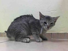 SAFE!! Still listed 6/28, TO BE DESTROYED 6/27/14 ** BABY ALERT! Gary interacts with the Assessor, solicits attention, is easy to handle and tolerates all petting.  came with younger litter A1004305, 4310, 4304, 4311, 4306 ** Brooklyn Center  My name is GARY. My Animal ID # is A1004307. I am a male gray tabby domestic sh mix. The shelter thinks I am about 4 MONTHS old.  I came in the shelter as a STRAY on 06/23/2014 from NY 11419. I came in with Group/Litter #K14-183147.