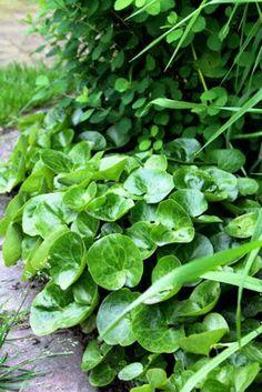 Hjälp hasselörten att sprida sig genom att skörda frön på hösten och så dem på lämpligt ställe. Hasselörten tar annars ganska lång tid på sig att breda ut sig.