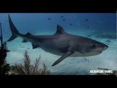 Unreal footage of sharks being sharks. SHARK DREAM - ANDY BRANDY CASAGRANDE IV #Sharks
