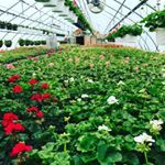 Another day in the greenhouse and the geraniums are looking great geraniums shoplocal