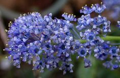 ceanothus vanderberg - California Mountain Lilac.  Small evergreen shrub with bright blue, knock-your-socks-off blooms in late spring.