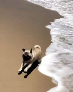 Tide pug [Video] (With videos) Cute Little Animals, Cute Funny Animals, Funny Dogs, Cute Dogs And Puppies, Pet Dogs, Puppies Puppies, Doggies, Staffordshire Terrier, Pug Gifs