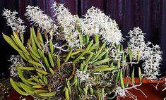 linda orquidea dendrobium wassellii adulta