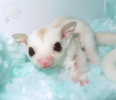 Brownie is an adorable cremeino mosaic sugar glider joey ..