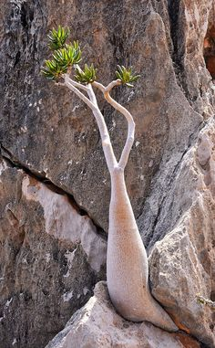 Bottle Tree, Socotra Island - Another! Socotra, Unusual Plants, Exotic Plants, Trees And Shrubs, Trees To Plant, Weird Trees, Cactus Plante, Old Trees, Snow Trees