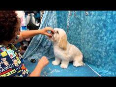 LHASA HEAD TRIM - YouTube