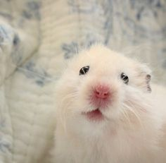 Baby Hamster, Hamster Care, Cute Little Animals, Cute Funny Animals, Funny Hamsters, Syrian Hamster, Cute Rats, Cute Mouse, Pet Life