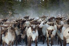 Reindeer, Yamal, Russia Photographer Ivan Dementievsky #reindeer #Yamal #arcticphoto #arcticart #extremenorth #arctic #arcticinfo Arctic, Reindeer, Goats, Russia, Animals, Animales, Animaux, Animal, Animais