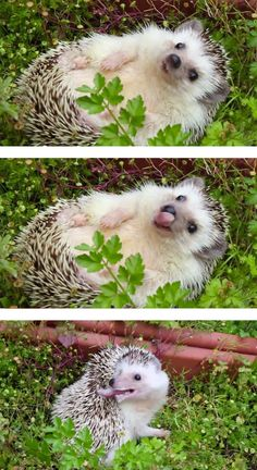 Why so many cute hedgehog pictures?!