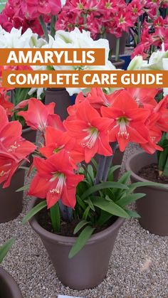 ( is one of the most beautiful blooming at the start of each year. They can come back year after year if treated correctly. This guide shows you how to do. Amaryllis Care, Amaryllis Plant, Amaryllis Bulbs, Growing Flowers, Growing Plants, Planting Flowers, Garden Bulbs, Garden Plants, Indoor Plants