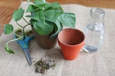 How to Propagate Philodendron