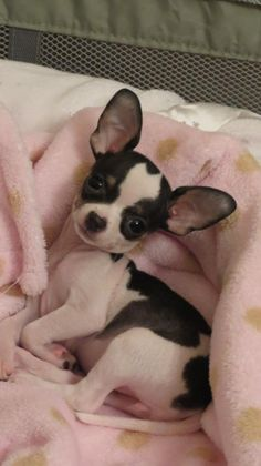 "Is this tiny chihuahua adorable or what. I couldn't decide to list it on my ""This is ♥CUTE♥ board... or my I WANT IT.. board.  Christy <>"