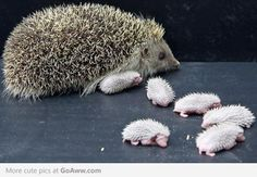 funny looking hedgehog babies