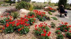 Bed C, facing south - May 12, 2010 via http://prairiebreak.blogspot.com/2015/03/kendrick-lake.html (Tulips, muscari, yucca, sedum, poss. dasilirion)