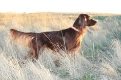 Other Mythodical Dogs - Mythodical Irish Setters - Can Ch Mythodical Russell Hail Storm FD, known and loved as Goose Red And White Setter, Gordon Setter, Dogs And Puppies, Doggies, Wild Weather, Hail Storm, Bow Wow, Red Dog, English Setter