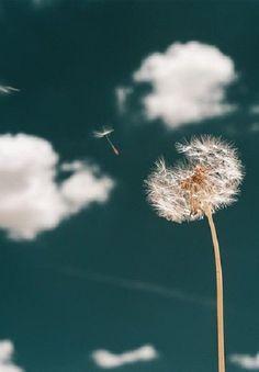 Dandelion.... Make a wish....