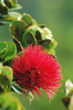 'Ohi'a tree Lehua blossom (Metrosideros polymorpha), Hawai'i