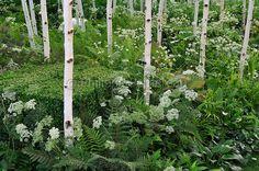 troncs de bouleau (betula utilis Jacquemontii 'Doorenbos' et plantes d'ombre | PHILIPPE PERDEREAU Garden Images