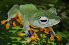 Rhacophorus reinwardtii - Gliding Frog
