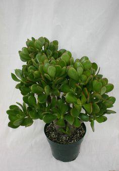 Crassula argentea - Succulent Gardens