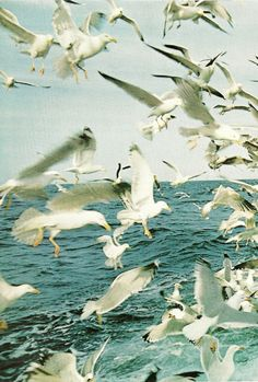 Seagulls above the waters of the Minches Channel, Scotland  National Geographic   May 1970