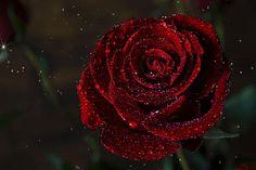 BagIra — «dark rose.gif» на Яндекс.Фотках