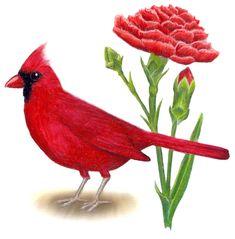 Ohio State Flower | Ohio State Bird and Flower: Cardinal / Cardinalis cardinalis | Red ...