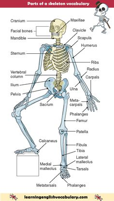 Parts of the human skeleton with English words and pictures