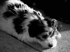 :) sweet coton puppy by jody9, via Flickr.