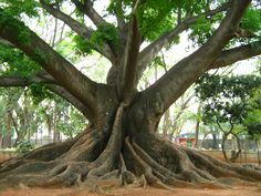 Silk Cotton tree (over 200 years old) in  Lal Baugh Botanical Gardens.