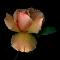 Photograph ONE ROSE...by Magda Indigo on 500px