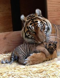 Sumatran tiger mum and cub. The Sumatran tiger (Panthera tigris) is classified as Critically Endangered. The greatest threat to their survival is the destruction of their habitat, followed by poaching. Currently the wild Sumatran Tiger population is estimated at less than 400.