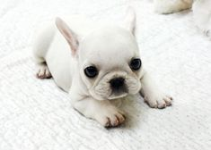 Tiny French Bulldog. Future dog