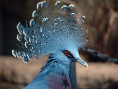 Ascot, here I come!     Victoria crowned pigeon
