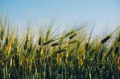 #agriculture #barley #field #wheat