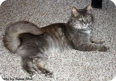 Pictures of Noelle a Domestic Longhair for adoption in Oak Ridge, TN who needs a loving home.